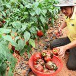Kỹ thuật trồng ớt ngọt theo hướng an toàn - img 561859909edea 150x150