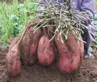 Quản lý sâu đục củ khoai lang - khoai2Blang2B2