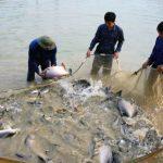 Kỹ thuật nuôi cá chim vây vàng hiệu quả - ki thuat nuoi ca chim trang 1 150x150