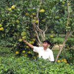 Kỹ thuật trồng Bưởi Đoan Hùng cho quả sai, mọng nước