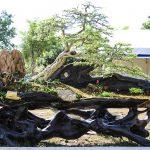Kỹ thuật lão hoá bonsai: Nửa sống nửa chết - ky thuat lao hoa bonsai nua song nua chet 150x150
