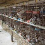 Kỹ thuật nuôi chim bồ câu Pháp 'mắn' con, thịt thơm - ky thuat nuoi chim bo cau phap man con thit thom 150x150