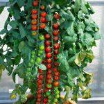 Kỹ thuật trồng cà chua cherry quả đỏ lựng, sai trĩu cành - ky thuat trong ca chua cherry qua do lung sai triu canh 01 150x150