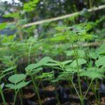Bí kíp trồng cây chùm ngây một lần, ăn quanh năm - ky thuat trong cay chum ngay mot lan an quanh nam 05 jpg 150x150