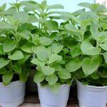 Kỹ thuật trồng cây Húng Chanh đuổi muỗi tiện lợi