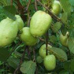 Phương pháp trồng và chăm sóc cây ổi