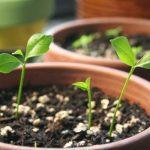Học cách trồng chanh bằng hạt cực kì đơn giản