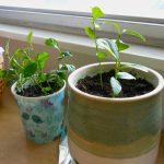Bật mí cách trồng cây Chanh cảnh nhỏ xinh để bàn