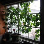 Học cách trồng chanh leo vừa mát nhà, vừa sai trĩu quả