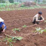 Kỹ thuật trồng gừng năng suất cao - ky thuat trong gung nang suat cao 150x150