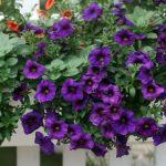 Kỹ thuật trồng hoa Dạ Yến Thảo đơn giản đẹp mê hồn