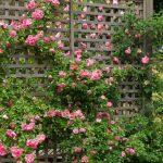 Trồng hoa hồng leo nở rộ cho sân nhà đẹp như cổ tích - ky thuat trong hoa hong leo cho san nha dep nhu co tich 04 150x150