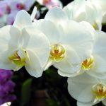 Bí kíp trồng và chăm sóc Lan mùa đông luôn nở hoa tươi rói - ky thuat trong hoa lan mua dong no hoa tuoi roi 03 150x150