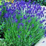 Học trồng hoa oải hương trong nhà đẹp hút mắt lại giúp đuổi côn trùng