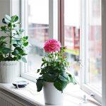 Kĩ thuật trồng hoa thược dược nhiều màu cho nhà thêm xinh