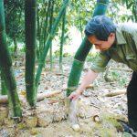 Cách trồng, chăm sóc và thu hoạch tre kinh doanh măng - ky thuat trong mang diem truc 150x150