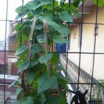 Bật mí kỹ thuật trồng mướp hương cho nhà phố quả ăn quanh năm - ky thuat trong muop huong cho nha pho qua an quanh nam 02 150x150