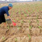 Kỹ thuật trồng ngô cho vụ mùa bội thu
