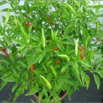Học cách trồng ớt tại nhà cho quả sai trĩu cả năm - ky thuat trong ot tai nha cho qua sai triu ca nam 01 150x150