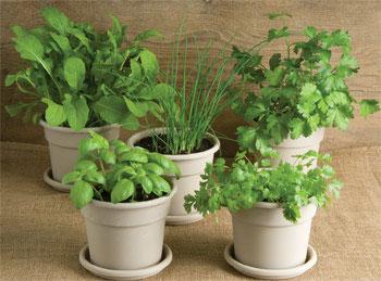 Bỏ túi kỹ thuật trồng rau gia vị tại nhà an toàn, xanh tốt quanh năm - ky thuat trong rau gia vi tai nha an toan xanh tot.02