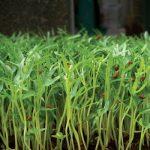 Học trồng rau muống mầm tại nhà đơn giản, an toàn, tươi ngon - ky thuat trong rau mam rau muong tai nha don gian an toan tuoi ngon 01 150x150