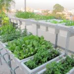 Tuyệt chiêu trồng rau trong thùng xốp sạch sẽ, lớn nhanh như thổi