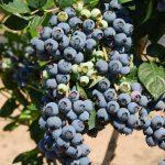 Cách trồng việt quất quả sai trĩu quả