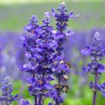 Kỹ thuật trồng hoa oải hương - lavender 3 150x150