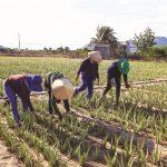 Kỹ thuật trồng cây Lô Hội (Nha Đam) - lh1 1 150x150