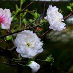 Cách trồng và chăm sóc cây Mai trắng miền Bắc