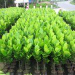 Kỹ thuật trồng và chăm sóc mít không hạt