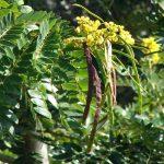 Kỹ thuật trồng Muồng đen - muong den 150x150