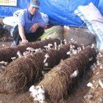 Kĩ thuật trồng nấm rơm bằng cách không đậy