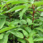 Những tác dụng không ngờ của rau đay - nhung tac dung bat ngo cua rau day 150x150