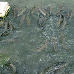 Cách nuôi cá lóc phổ biến hiện nay
