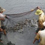 Kỹ thuật nuôi cá lóc trong vèo đặt trong ao cho hiệu quả kinh tế khá - nuoi ca loc 3 150x150