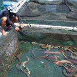 Kỹ thuật nuôi cá chình thương phẩm trong ao