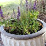 Cách chăm sóc hoa Oải Hương Lavender thích nghi với khí hậu Việt Nam