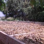 Ủ cây bắp khô trong bồn nuôi lươn để cải thiện năng suất