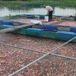 Phòng trị bệnh cho cá rô phi nuôi lồng, bè