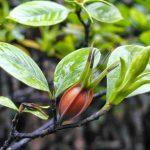 Bài thuốc chữa bệnh từ cây Dành Dành