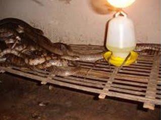 Kỹ thuật nuôi rắn ráo trâu (hổ hèo) - ran rao trau1