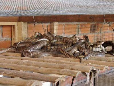 Kỹ thuật nuôi rắn ráo trâu (hổ hèo) - ran rao trau2 1