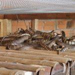 Kỹ thuật nuôi rắn ráo trâu (hổ hèo)