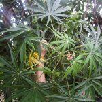 Cây đỗ trọng Eucomia Ulmoides Olive