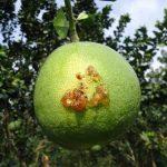 Lạm dụng thuốc trừ sâu gây bùng phát sâu đục trái - sau duc trai 150x150