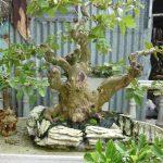 Trồng cây ổi làm cảnh, ổi bonsai - trong cay oi bonsai 150x150