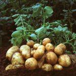Kỹ thuật trồng khoai tây bằng hạt cho năng suất gấp 3 lần - trong khoai tay cuc de tu cu moc mam ngay trong nha pho 150x150