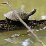 Hiệu quả cao từ nuôi baba bằng thức ăn công nghiệp - turtle 150x150