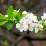 Hoa Mai trắng chữa đau khớp